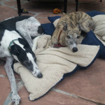 Two Greyhounds lay on pillows during breakfast on the patio