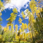 Aspens in Santa Fe National Forest