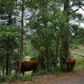 Cows along Pecos River Road