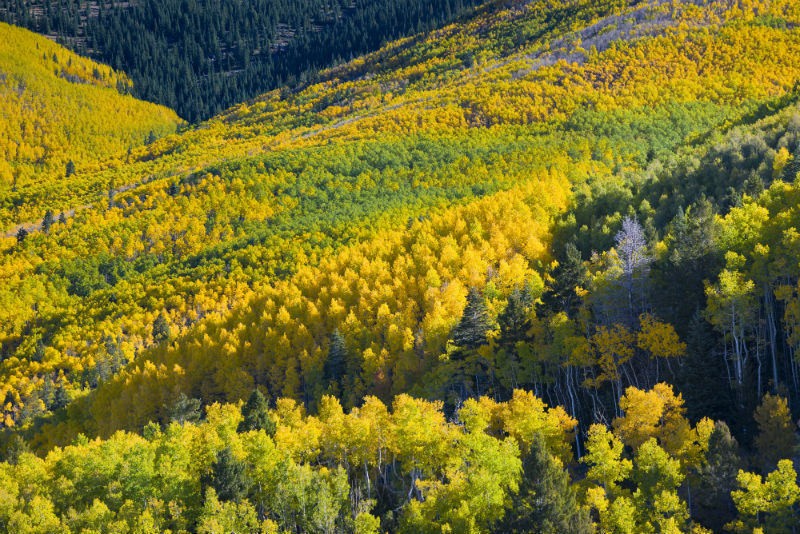 Golden aspen trees fill the Santa Fe hillsides