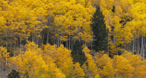 Bright golden Aspens along the New Mexico landscape.